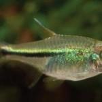 ماهی تترای نئون سبز (تترای ژانویه)