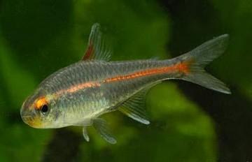 ماهی تترای نورتابان