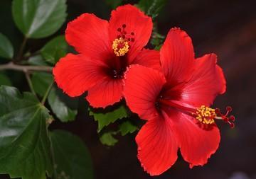 Hibiscus rosa-sinensis گل ختمی چینی