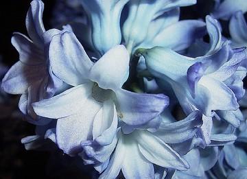 تصاویر گل سنبل