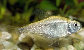 ماهی تترای زرد