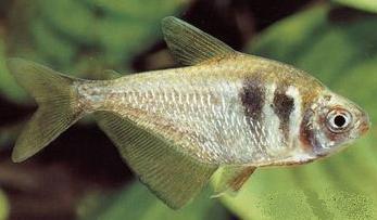 معرفی و شناخت ماهی تترای زرد