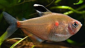 عکس ماهی ماده تترای خونین دل