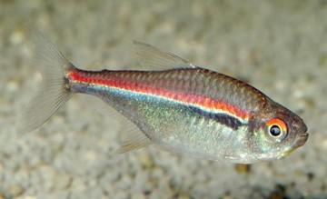 ماهی تترای پرچمی  Hyphessobrycon heterorhabdus
