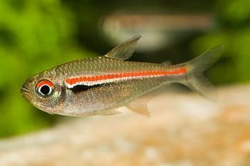 عکس ماهی تترای پرچمی