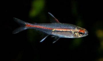ماهی تترای پرچمی /  flag tetra