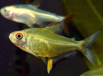 ماهی تترا لیمویی(Lemon Tetra)