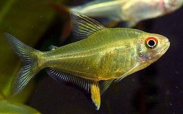 ماهی تترا لیمویی