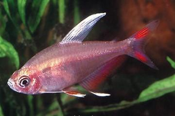 ماهی تترای رزی