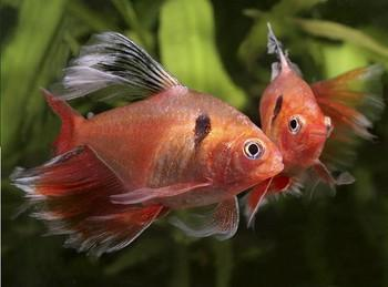 ماهی تترا و انواع آن | تترای جواهر