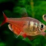 ماهی تترای قرمز(تترای شعله ای)