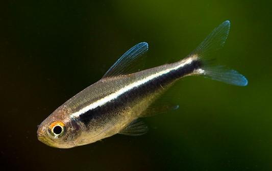 ماهی تترای نئونی سیاه (Black Neon Tetra)