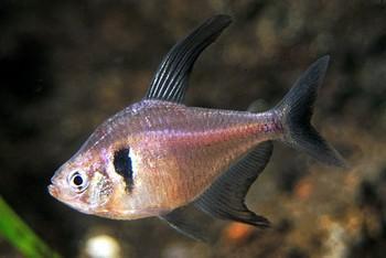 ماهی تترای فانتوم سیاه