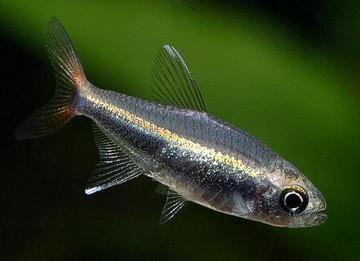 ماهی تترا لورتو (Loreto Tetra)