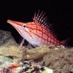 باز ماهی (Cirrhitidae)