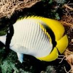 پروانه ماهی خط دار (Chaetodon Lineolatus)