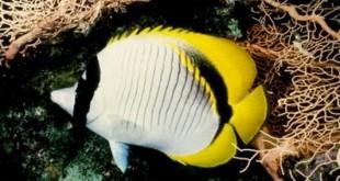 پروانه ماهی خط دارChaetodon Lineolatus