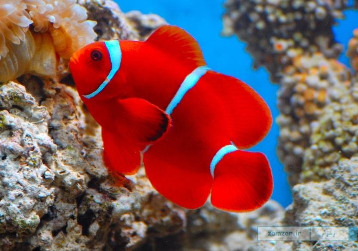 دلقک ماهی مارون