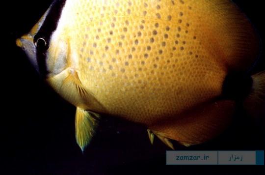 پروانه ماهی لیمویی (Chaetodon Miliaris)