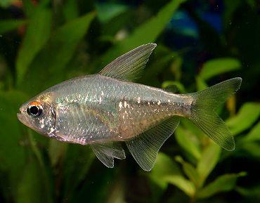 ماهی تترای الماسی