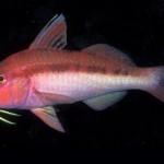 بز ماهی ها (Mullidae)