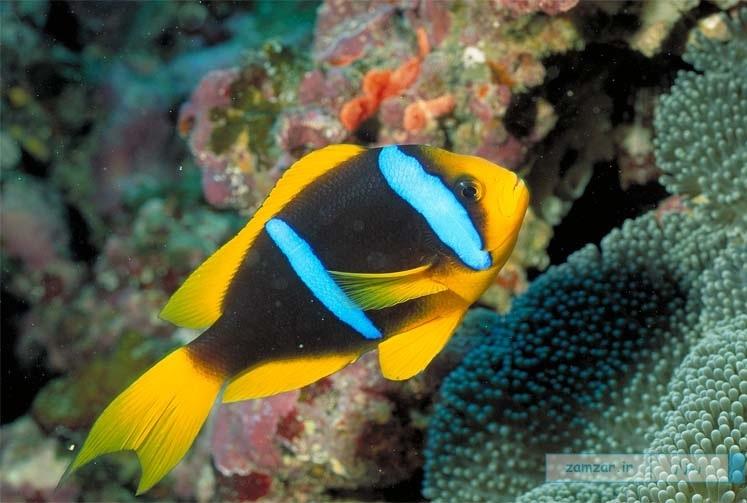 شقایق ماهی باله نارنجی (پاپوا)