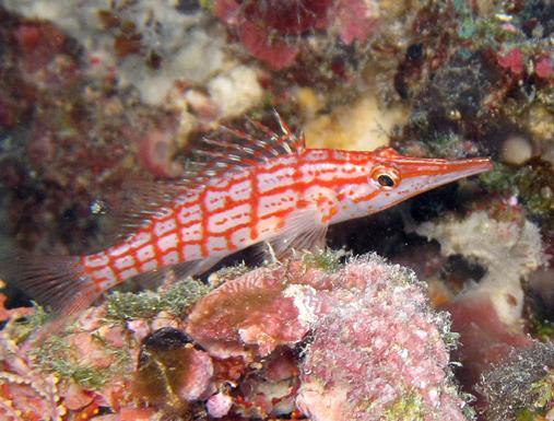 باز ماهی Cirrhitidae
