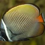 پروانه ماهی پاکستانی (Chaetodon Collare)