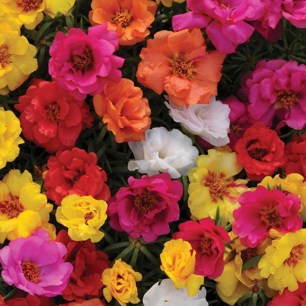 گل ناز