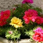 پرورش و نگهداری گل ناز آفتابی
