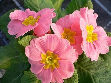 عکس: گل پامچال بهاری