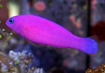 ماهی توت فرنگی (Pseudochromis Porphyreus)
