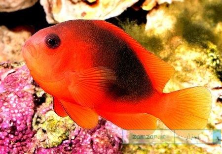 دلقک ماهی قرمز