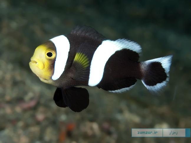 دلقک ماهی پشت زینی