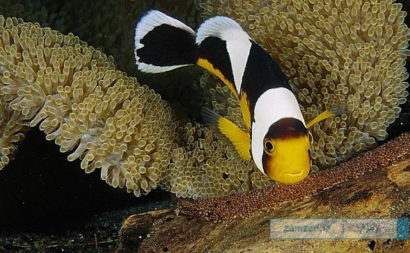 دلقک ماهی پشت زینی پاپووآ