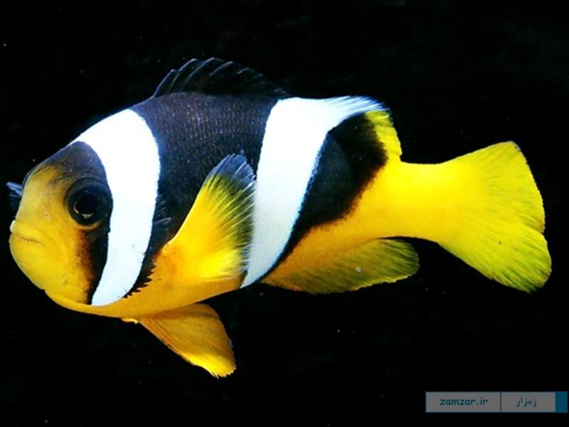 دلقک ماهی سبا