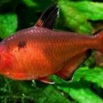 ماهی تترای جواهر(جوال تترا)
