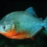 ماهی پیرانای شکم سرخ