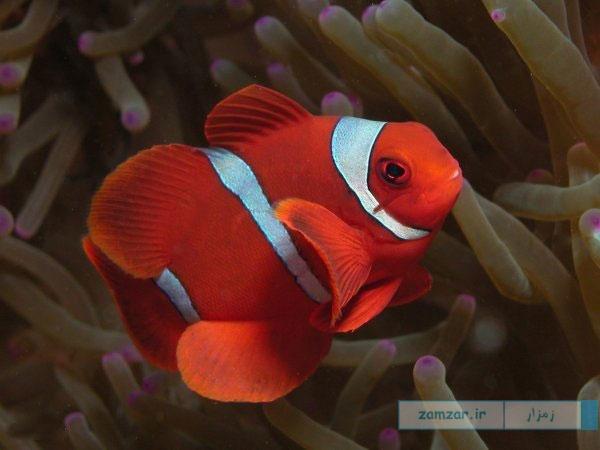 دلقک ماهی خاردار