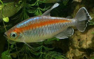 ماهی تترای کنگو Congo Tetra