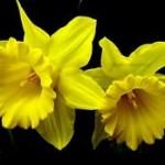 راهنمای پرورش و نگهداری از گل نرگس