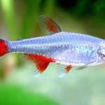 ماهی تترای باله خونین(Bloodfin tetra)