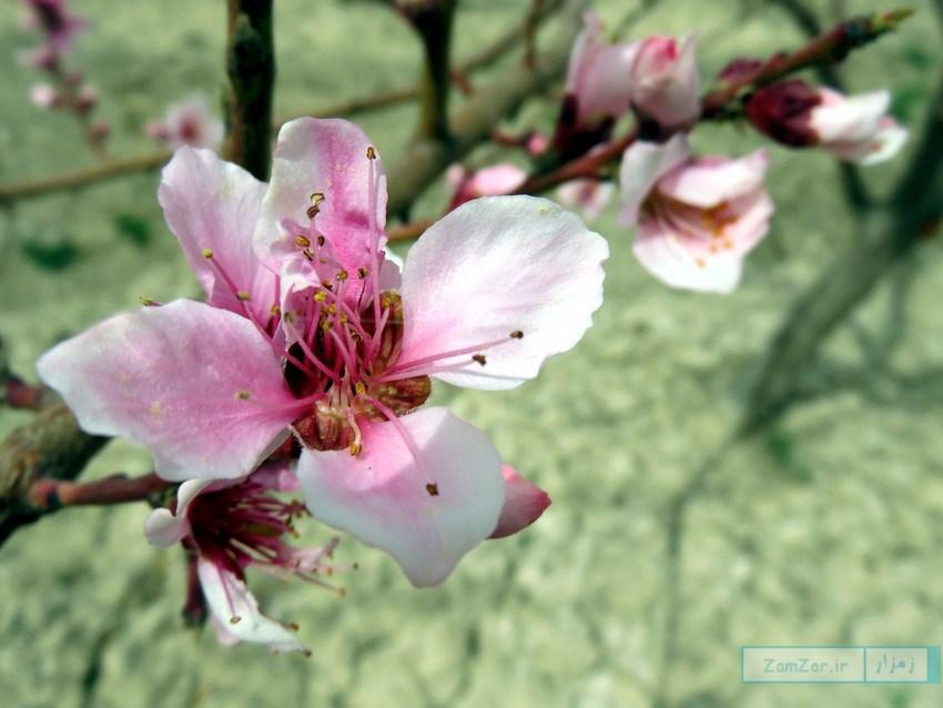 (تصاویر) شکوفه های بهاری