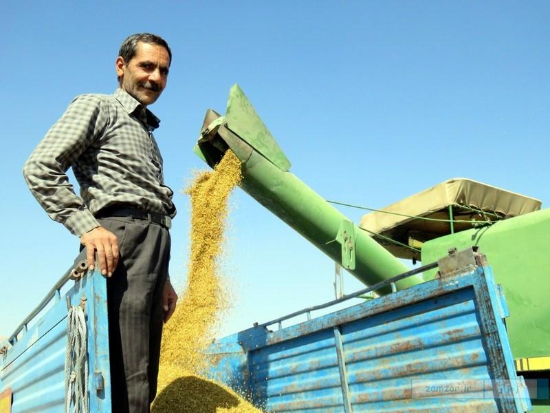 برداشت برنج از مزارع شالیکاری کرکوند