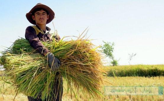 (تصاویر) برداشت برنج از شالیزارهای شهر کرکوند