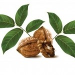 عصاره برگ گردو موثر در کاهش قند و چربی خون