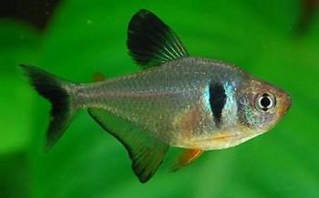 ماهی تترای فانتوم سیاه (ماده)
