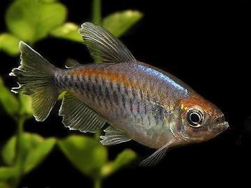 عکس ماهی تترا کنگو