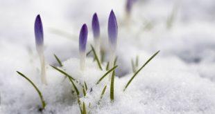 گل در برف
