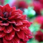 نگهداری و پرورش گل کوکب (Dahlia)